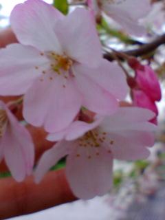赤い桜?.jpg
