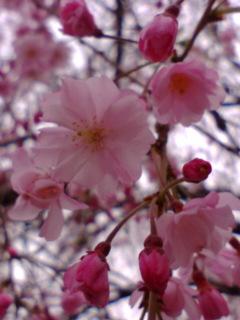 濃い桜.jpg