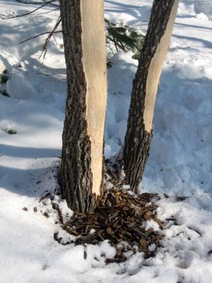 鹿に食べられた木