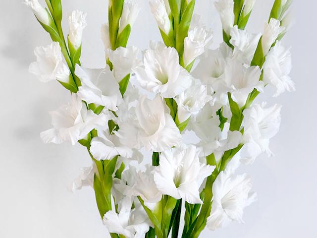 Monthly Flower98月の花 グラジオラス - NOEVIR BOTANICAL LIFE ...