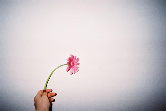 『ピンクのガーベラ』